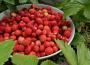Kontrole owoców miękkich pochodzących z zagranicy