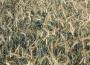 Ceny zbóż na giełdach towarowych (10.06.2018)