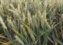 Wzrosły ceny pszenicy i kukurydzy w Polsce