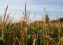Notowania zbóż i oleistych. Końcówka tygodnia przyniosła spadki unijnych kontraktów (23.09.2016)