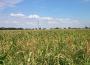 Notowania zbóż i oleistych. Ceny zbóż i soi mocno spadały przed świętami (24.12.2015)