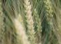 Rynek zbóż w kraju (12.01.2020)