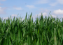 Słabnące euro wsparło notowania unijnych zbóż, ale rzepak stracił na wartości w ślad za olejami roślinnymi i soją