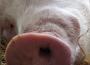 Ceny wieprzowiny dalej na niskim poziomie