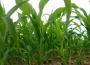 Ceny zbóż na giełdach towarowych (04.04.2021)