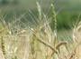 Ceny zbóż na giełdach towarowych (5.07.2020)