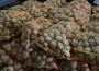 Niższe zbiory ziemniaków