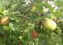 Piros - letnia odmiana jabłek