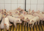 Ceny żywca wieprzowego, wołowego, drobiowego w Polsce (14.08.2016)