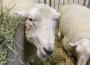 W UE maleją ceny jagniąt