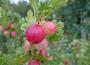 Susza rolnicza pośród zbóż, truskawek i krzewów owocowych