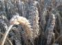 Rynek zbóż w kraju (06.09.2020)