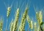 Ceny zbóż w kraju i portach. Wysoka podaż trzyma ceny ryzach