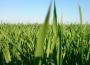 Ceny zbóż na giełdach towarowych (15.11.2020)