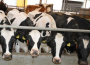 Długookresowe prognozy dla unijnej produkcji wołowiny