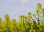 Silne spadki na rynku zbóż i oleistych w końcówce miesiąca