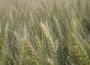 Rynek zbóż w kraju (27.05.2018)