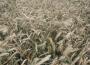 Rynek zbóż w kraju (30.09.2018)