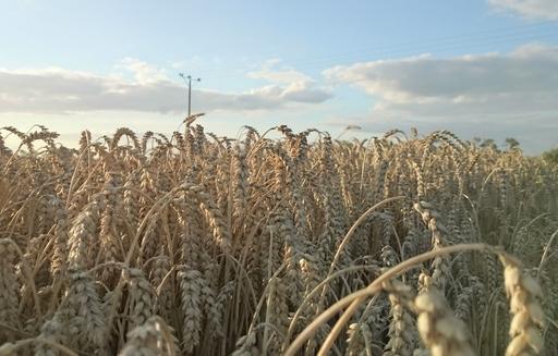 R. Barczyk: Oferowane ceny zbóż ze zbiorów 2016 są wyższe od aktualnie obowiązujących