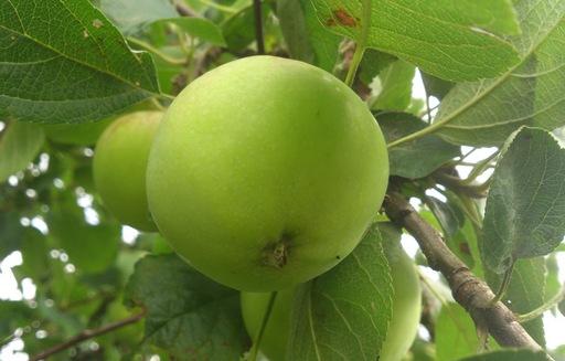 Ceny jabłek w Polsce (26.07.2016)