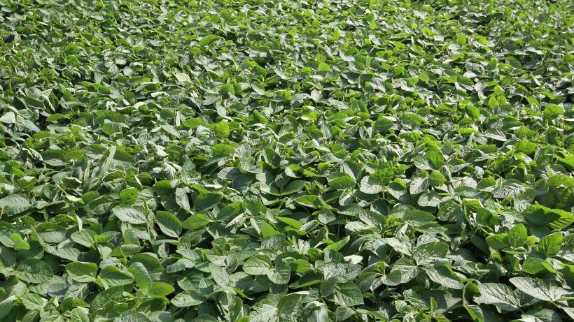 Notowania zbóż i oleistych. Obawy pogodowe wsparły wzrosty notowań soi. Unijna pszenica dalej traci (27.7.2016)