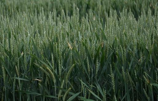 Tydzień zaczął się od przecen na giełdowym rynku zbóż i oleistych