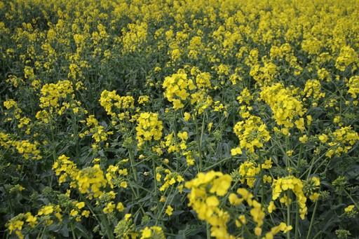 Notowania zbóż i oleistych. Wysokie euro szkodzi unijnym kontraktom (16.05.2017)