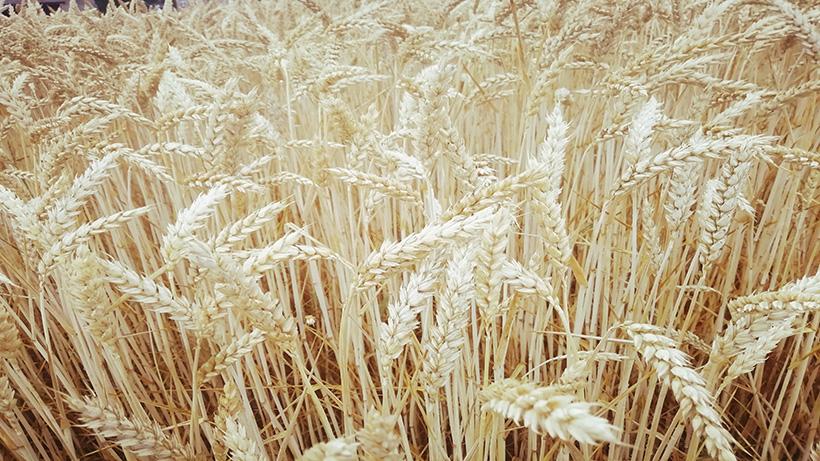 Wzrost eksportu i obawy pogodowe wsparły notowania zbóż