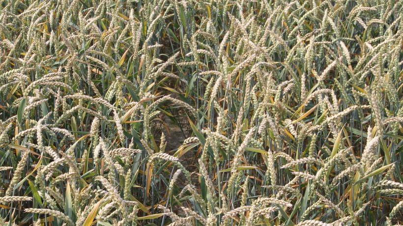 Spadek notowań zbóż i oleistych