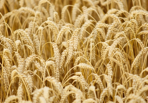 Ceny zbóż w Polsce na tle UE (29.05.2016)