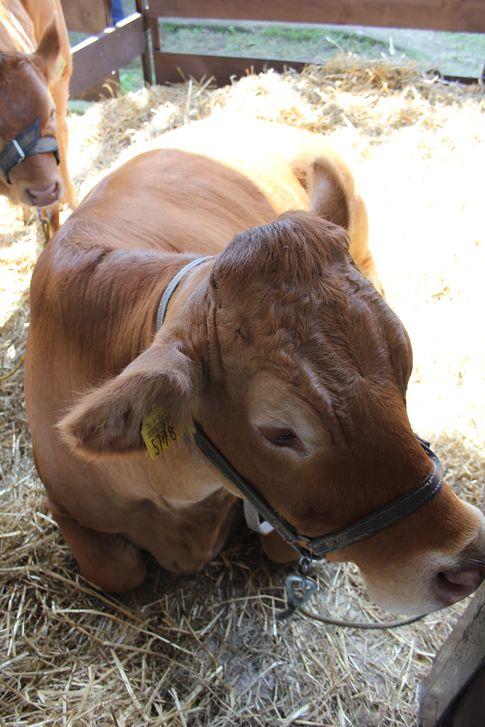 Nieznaczny wzrost cen wołowiny w UE (sierpień 2014)