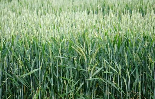 Ceny zbóż na giełdach towarowych (13.11.2016)
