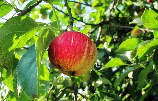 Rekordowe zbiory jabłek w Polsce ciążyły na ich cenach w sezonie 2016/17