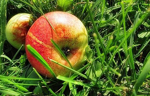 Ceny polskich jabłek eksportowych
