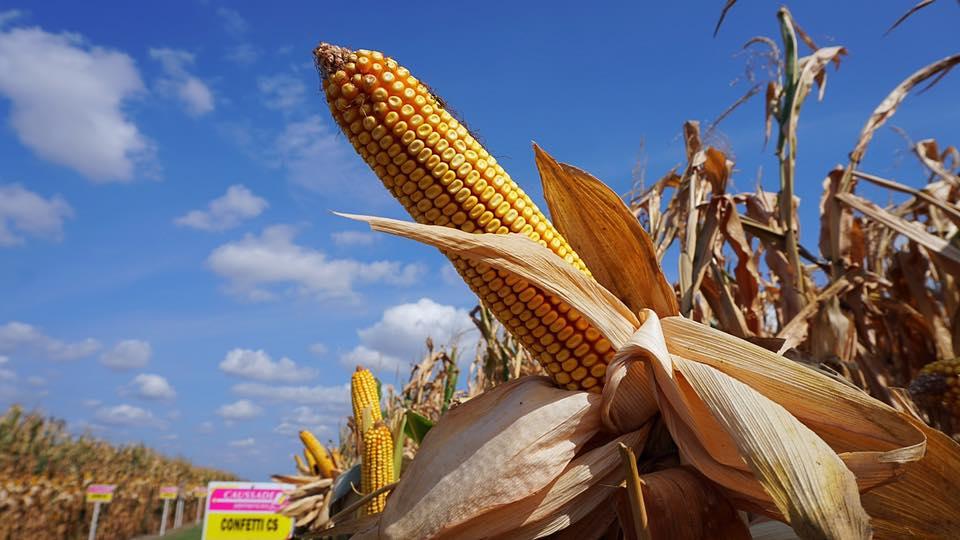 Lekkie spadki notowań zbóż i soi