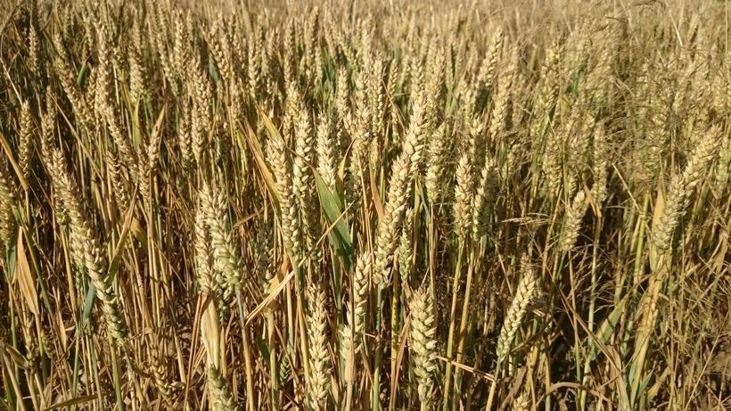 Przeceny na giełdowym rynku pszenicy