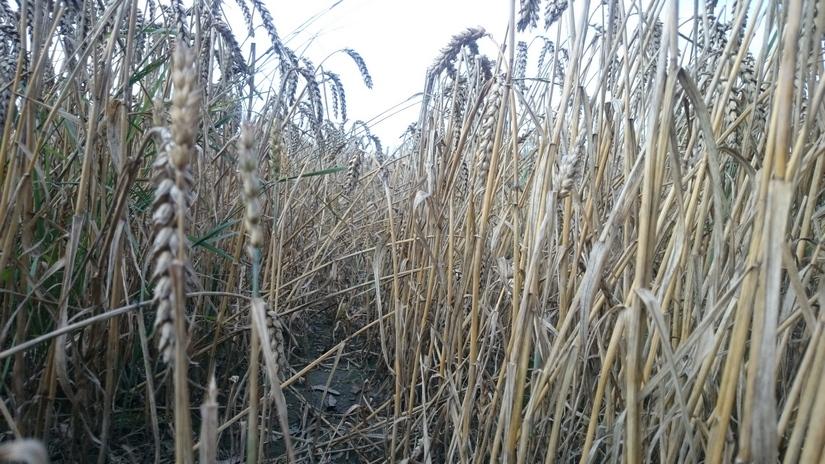 W końcówce roku ceny zbóż w kraju ustabilizowały się na bardzo wysokich poziomach