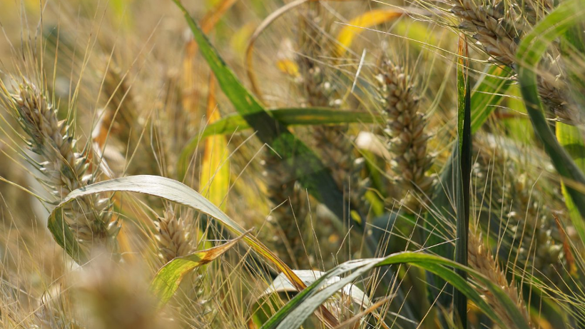 Unijny kontrakt na pszenicę jest najtańszy od 3 miesięcy