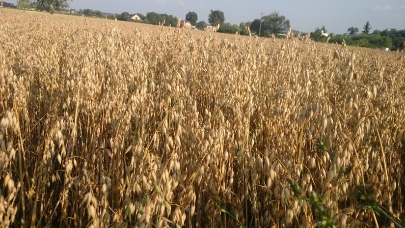 W końcówce sierpnia podrożały pszenica, owies i pszenżyto