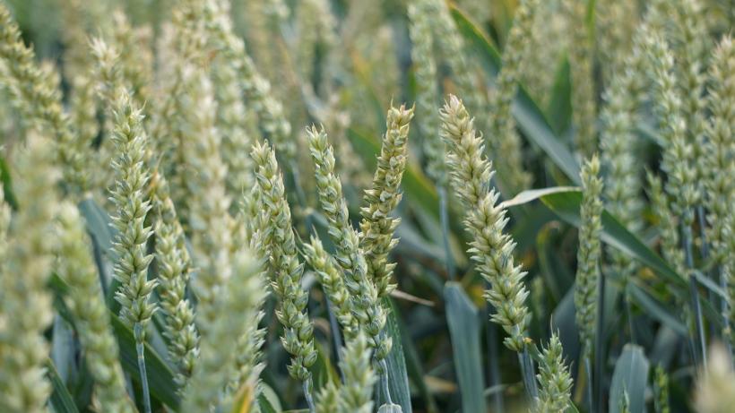 Ceny zbóż na giełdach towarowych (1.04.2018)