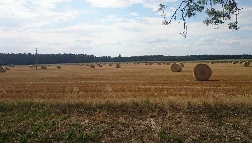 FAMMU/FAPA: Duża podaż hamuje wzrost cen zbóż