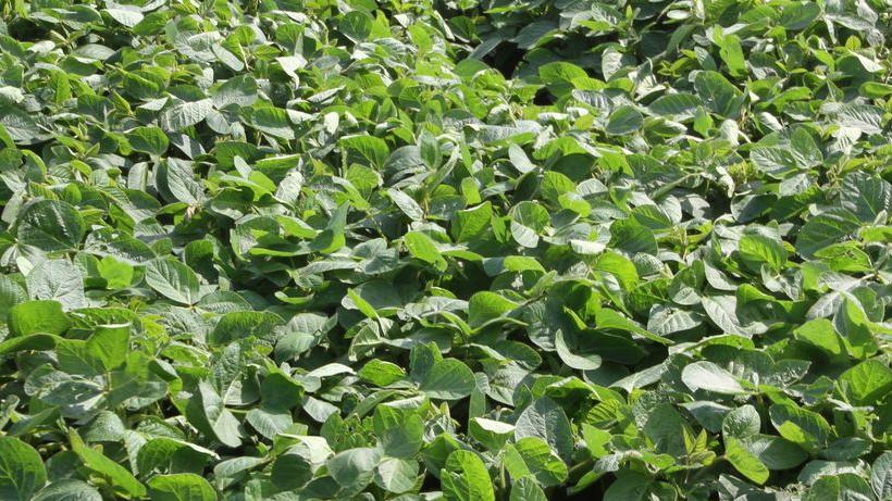 Notowania zbóż i oleistych. Dobra kondycja amerykańskich upraw dołuje wyceny kontraktów na CBoT (19.07.2016)