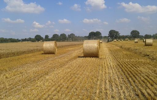Mocny spadek ceny pszenicy paszowej