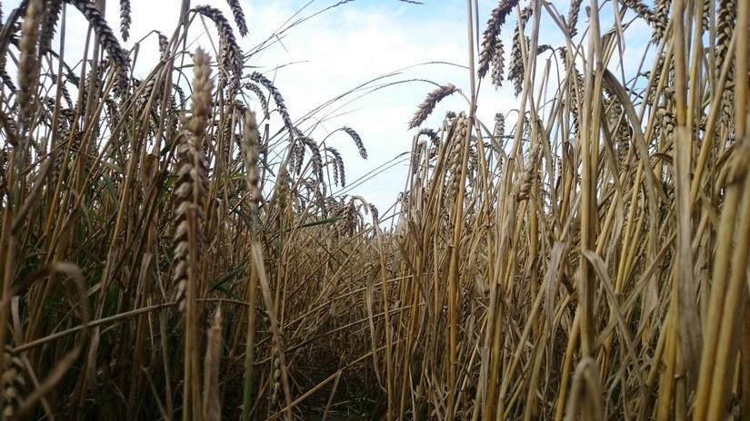 Ceny zbóż na giełdach towarowych (30.09.2018)