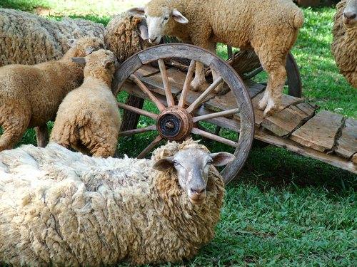 Zniżkowy trend cen owiec i jagniąt nadal trwa