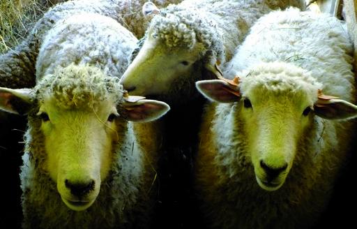 Ceny referencyjne wieprzowiny, wołowiny i baraniny w Polsce i UE (25.09.2016)