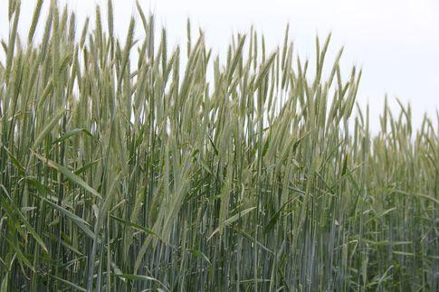 Ceny zbóż w Polsce (18-24.02.2013)