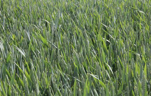 Notowania zbóż i oleistych. Rzepak i pszenica straciły lekko na wartości (24.11.2016)