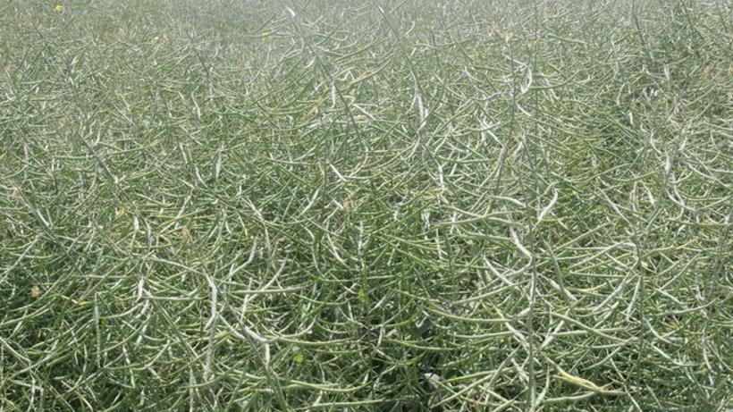 Unijny rzepak i kukurydza straciły na wartości