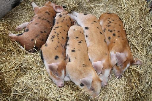 Ceny skupu świń rzeźnych znów w górę